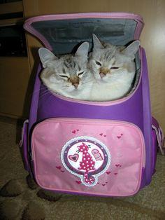"""mostlycatsmostly: """" (via sukharevanat) """" I Love Cats, Cool Cats, Mood Pics, The Villain, Cat Memes, Kawaii, Cats And Kittens, Funny Cats, Hello Kitty"""