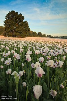 White Poppies by Andy Farrer, Dorset, UK