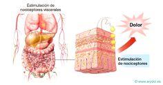 Nociceptors, receptors del dolor.