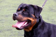 Top 7 most effective protection dogs. Click on the photo above to read the article.