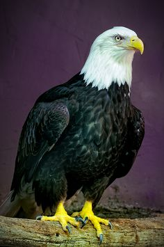 Proud Bald Eagle More