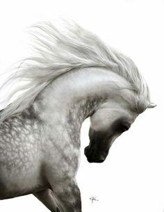 Grey Arabian stallion power and beauty Mustafa VO