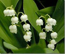 100 шт. ландыш цветок семена, белл орхидеи семена, богатый аромат, бонсай цветок семян, так мило и красиво(China (Mainland))