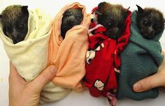Baby flying foxes at a rehab center on the Gold Coast, Australia