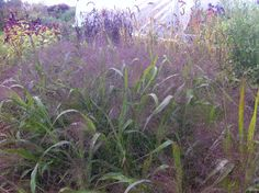 Panicum/Explosion Grass