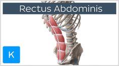 Rectus abdominis muscle - Origin, Insertion, Innervation, Function & Def...
