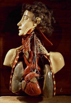 AGE OF REASON WAX MODEL 18TH Thorax, with lungs, nerves and blood vessels, one of the 1992 wax models ordered from Florentine scientists Prof. Paolo Mascagni and Felice Fontana by Emperor Joseph II for the education of army surgeons, 1785 Institut f.d.Geschichte der Medizin (Josefinum), Vienna, Austria