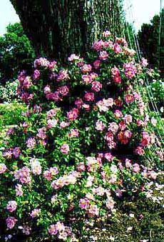 William Baffin rose - the hardiest climbing rose ever.