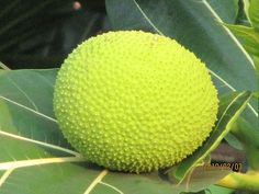 Breadfruit -a Jamaican staple, this needs to be cooked first before eating.