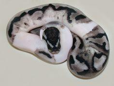 Lightning Pied - Morph List - World of Ball Pythons