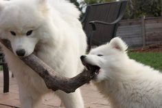 Hannah and Luka - Our Samoyeds  By Ducky7011  Steve L