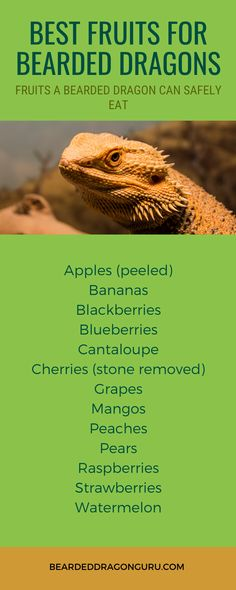 Your beardie will love a small piece of fruit every so often and will see this as a treat. However, as fruits are rich in sugar, ensure you don't overfeed them. Vegetables should still make up a much higher percentage of their diet than fruit.  #beardeddragondiet #canbeardeddragonseatfruit #petcare  #beardie Bearded Dragon Heat Lamp, Bearded Dragon Food List, Bearded Dragon Habitat, Bearded Dragon Supplies, Bartagamen Terrarium, Bearded Dragon Terrarium, Pet Lizards, Guinea Pig Toys, Dragon Pictures