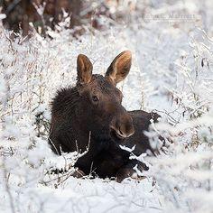 Canada moose - John E Marriott (@johnemarriott) on Instagra
