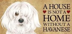 Havanese love