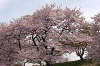 Cherry blossoms at the park on the river.