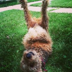Just having fun being a goofy Airedale! All Dogs, I Love Dogs, Best Dogs, Cute Puppies, Cute Dogs, Dogs And Puppies, Welch Terrier, Airedale Terrier, Sleeping Dogs
