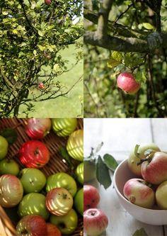 Babette apple