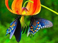 Blue butterflies on golden red flower