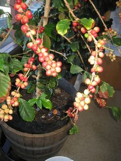 All you Need to know about growing Coffee plants in your house.