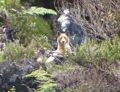 A New Guinea singing dog in the wild. Very, very shy animal.