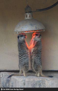 Cold meerkats at London zoo...sweet pic #meerkats #prairiedog #animallovers #meekcatlovers #cute