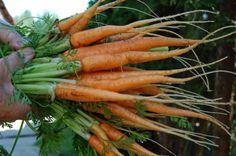 7 zöldség, amelyet októberben is termeszthetsz Dream Garden, Carrots, Vegetables, Food, Bunny, Cottage, Gardening, Ideas, Cute Bunny