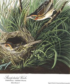 Sharp-tailed Finch | John James Audubon's Birds of America Audubon Birds, Birds Of America, John James Audubon, Bedroom Plants, Beautiful Birds, Illustration, Artwork, Animals, Image
