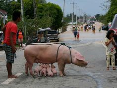 A sow nurses her piglets after being evacuated to safety following the flooding brought about by Typhoon Koppu at Zaragosa township, Nueva Ecija province, north of Manila, Philippines Monday, Oct. 19, 2015