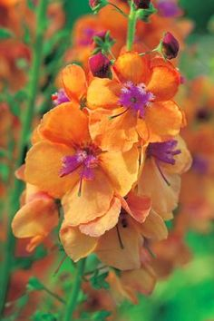 Verbascum 'Clementine', different coloring really adds contrast to the garden. ++++++