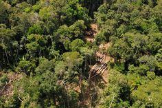 Águas de Pontal: Floresta explorada não volta a ser a mesma.