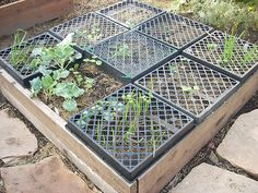 Raised Bed, the nursery tray keeps out birds and digging mammals until the plants are strong enough to fend for themselves. The Green corners are garlic and that's broccoli on the left.