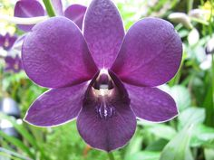 Purple Dendrobium Orchid by Alfred Ng Dendrobium Orchids, Blue Orchids, Wedding Flower Guide, Wedding Flowers, Wedding Ideas, Lavender Flowers, Floral Flowers, Plum Purple, Wedding Events
