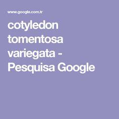 cotyledon tomentosa variegata - Pesquisa Google