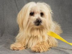 Adopt Barbaro, a lovely 7 years Dog available for adoption at Petango.com.  Barbaro is a Maltese and is available at the National Mill Dog Rescue in Colorado Springs, Co.  www.milldogrescue.org #adoptdontshop  #puppymilldog   #rescue  #adoptyourfriendtoday