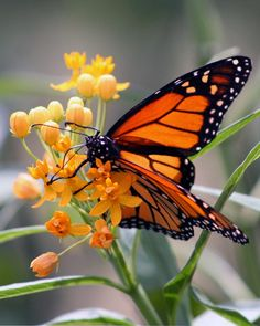 Monarch Butterfly Photograph, Nature Photography - Photography, Landscape photography, Photography tips Photography Tips, Landscape Photography, Beautiful Nature Photography, Photography Classes, Nature Photography Flowers, Butterfly Images Photography, Photography Challenge, Photography Camera, Photography Backdrops