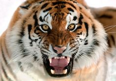 Os gatos grandes tigres Roar Glance Teeth Bigodes Focinho Animais