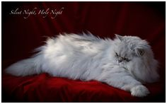 Chinchilla Silver persian One of God's beautiful creations!