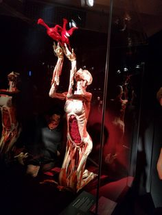 #bodyworlds  Body Worlds exhibition in Heidelberg, Germany.