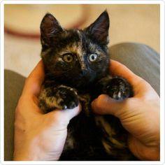"amorgatuno: ""Sabías que sólo las hembras pueden presentar tres colores? #amorgatuno #mundogatuno #gato #gatos #amordegato #gatostagram #gatosdeinstagram #gatito #gatitos #gatico #kitten #minino #cat #cats #catsofinstagram #pet #miau #neko #felino #gatete #mascota #gatuno #gatas #tortie #tricolor"""