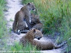 Karula and her cubs - Cheetah Plains Private Game Reserve