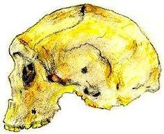HOMO RHODESIENSIS es una especie de homínido fósil del género Homo, hallado por primera vez en 1921. Se considera que vivió solamente en África, desde hace 600 000 hasta 160 000 años antes del presente