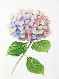 Hydrangea 1 — Botanicals by Karen Kluglein - Lavender hydrangea.jpg - - Hydrangea 1 — Botanicals by Karen Kluglein – Lavender hydrangea. Botanical Drawings, Botanical Prints, Flower Drawings, Drawing Flowers, Art Floral, Watercolor Flowers, Watercolor Paintings, Tattoo Watercolor, Flower Water Color Painting
