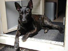 Dutch shepherd / Tika