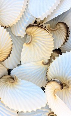.paper nautilus shells My favorite shapes and creations tend to be borrowed from nature. Paper Nautilus shells can be collected on rare occasions from Southern California Islands Western beaches.