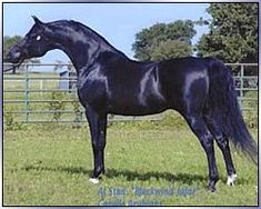 At Stud only. Cargile Arabians raise beautiful People/Show/Broodmare/Companion Arabians and Half Arabs. National Champion Bloodlines. Blacks and Bays Please check with them for your next Dreamhorse. www.cargilearabians.com