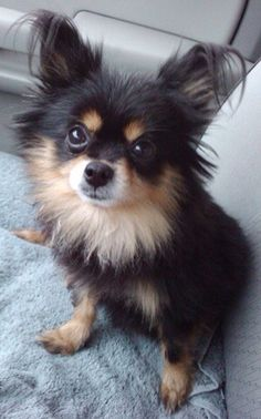 Long Hair Chihuahua..This looks like Asher, only he was