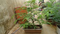Pré-bonsai de tamarindo( Tamarindo indica)