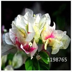 50pcs Bougainvillea Spectabilis Willd Bonsai Plant Seeds Bougainvillea seeds Flower Seeds