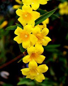 Gelsemium sempervirens (Carolina Jasmine) by -Sailor- Yellow Flowers Names, List Of Flowers, Annual Flowers, Exotic Flowers, Amazing Flowers, Beautiful Flowers, Carolina Jasmine, South Carolina, Language Of Flowers