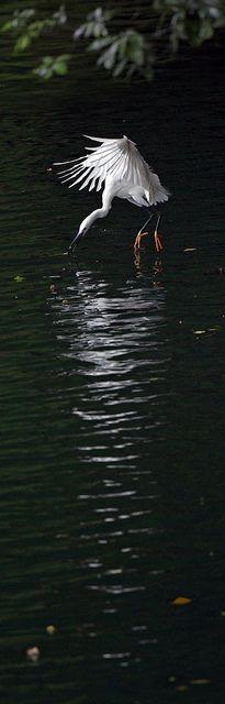 Little Egret, by John, via Flickr